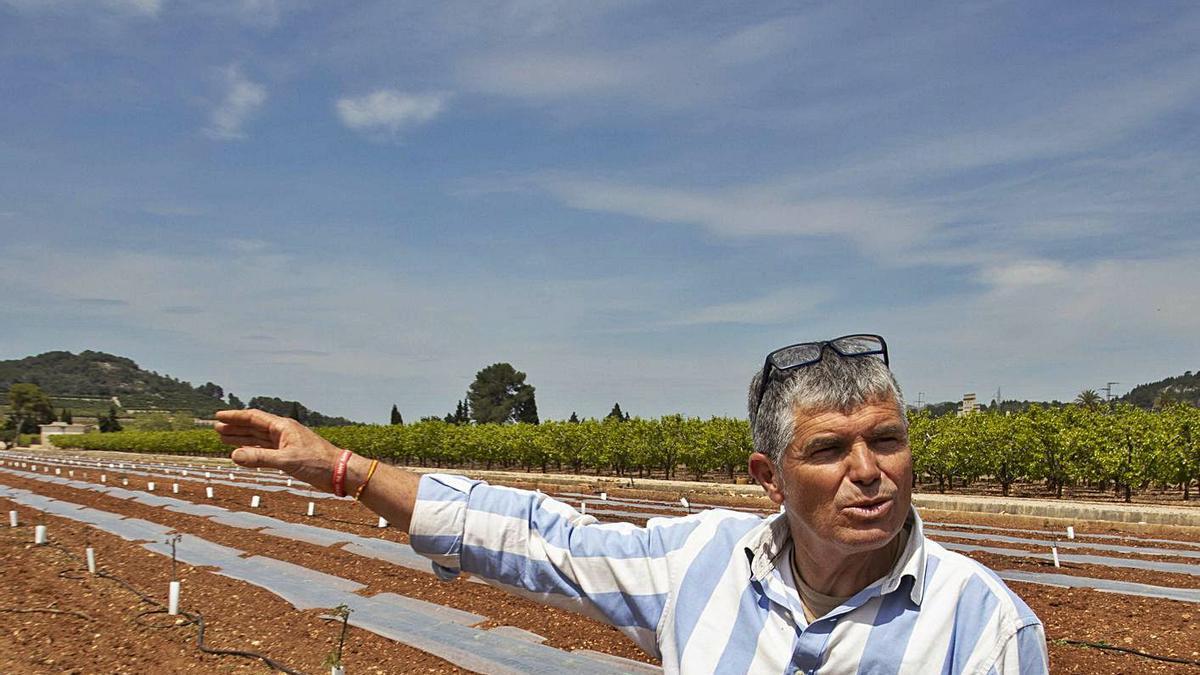 Enrique Machí, esta semana, en el campo de nogales plantado en La Barraca d'Aigües Vives.   PERALES IBORRA
