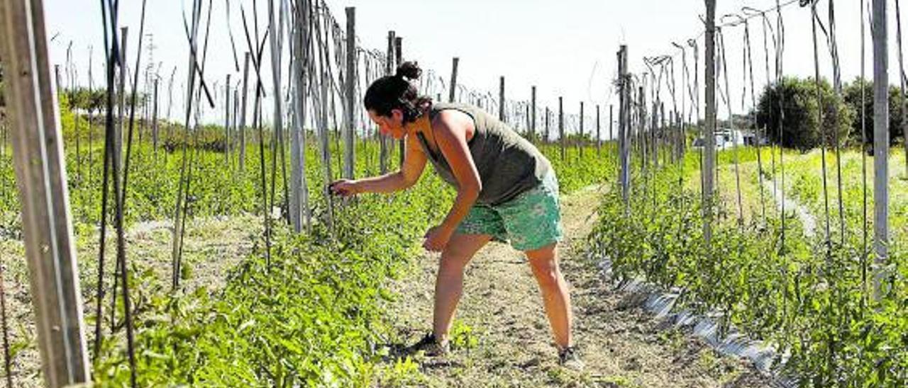 Lílian Gironés trabaja sobre las espalderas construidas para el cultivo de tomates | PERALES IBORRA