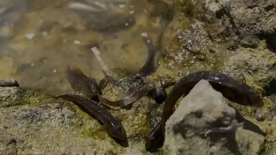 """Los ecologistas advierten que la mortandad de peces en el Mar Menor """"podría continuar durante los próximos días"""""""