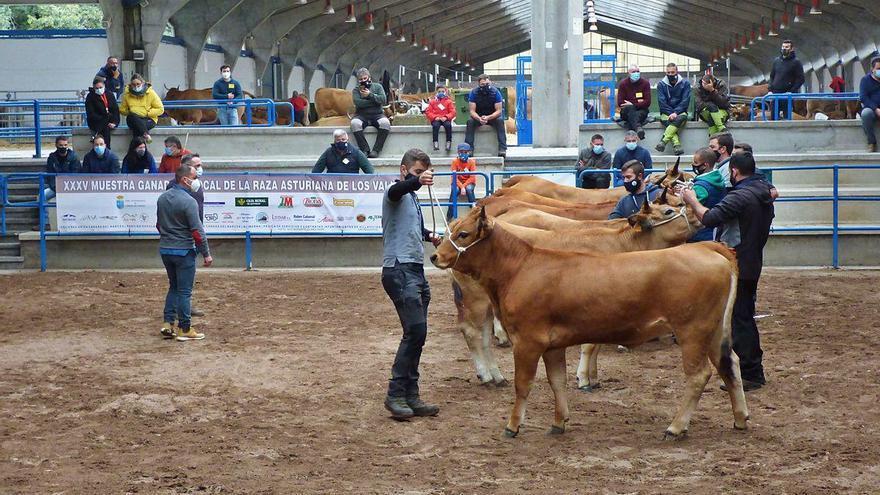 Los ganaderos respiran en Cangas del Narcea con el primer concurso presencial
