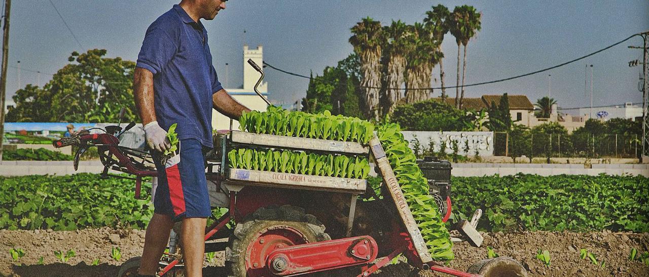 Un agricultor en una explotación de hortalizas en un campo de l'Horta Nord. | M. A. MONTESINOS