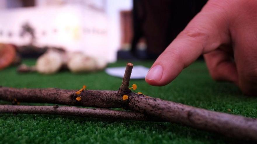 Una de las setas más pequeñas del mundo y otra que cura el cáncer, expuestas en Zamora