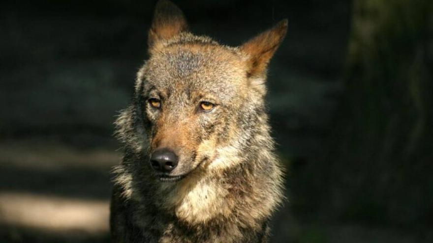Cantabria, Asturias, Galicia y Castilla y León coordinarán sus planes de gestión del lobo