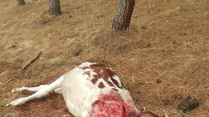 El lobo mata una ternera en una finca próxima a una casa en Outeiro de Ramil