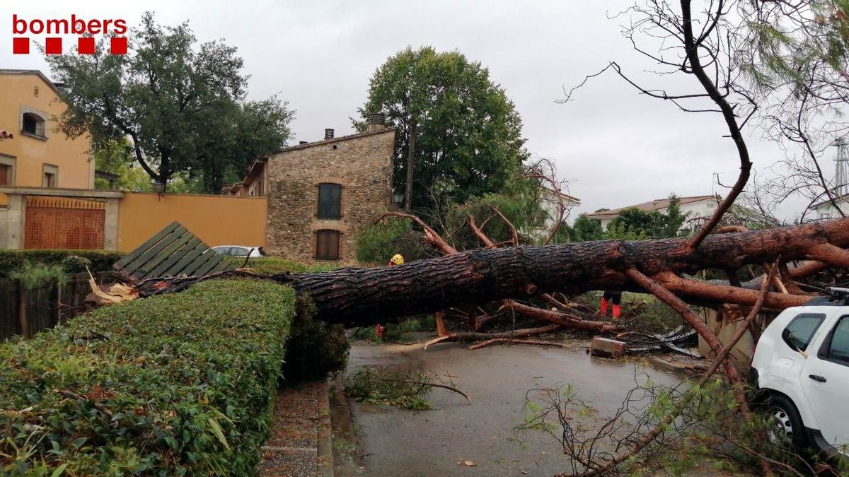 Un arbre de grans dimensions caigut per les pluges intenses a Bordils