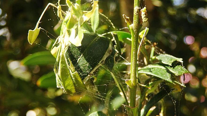 Areeiro alerta de la plaga de la mariposa del boj