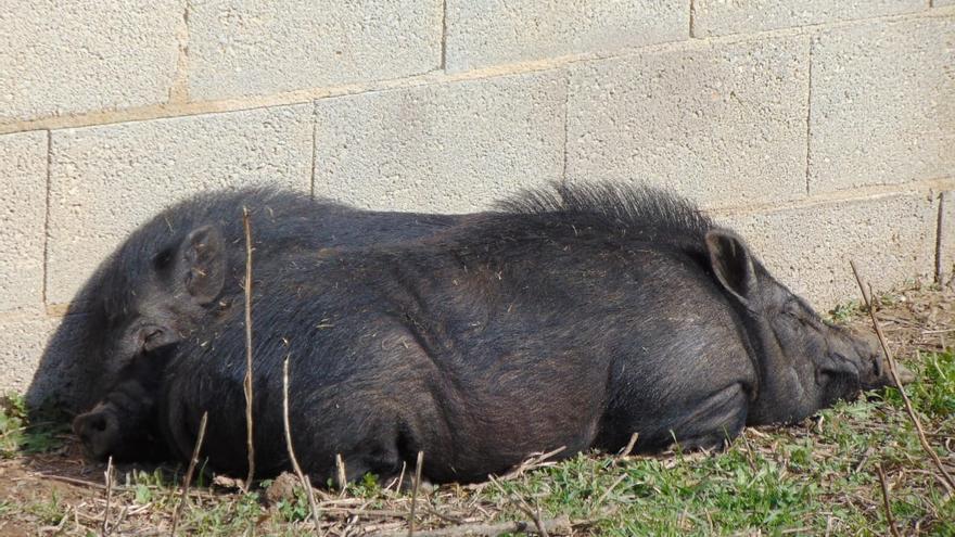 La nueva vida de los famosos cerdos vietnamitas de Castelló