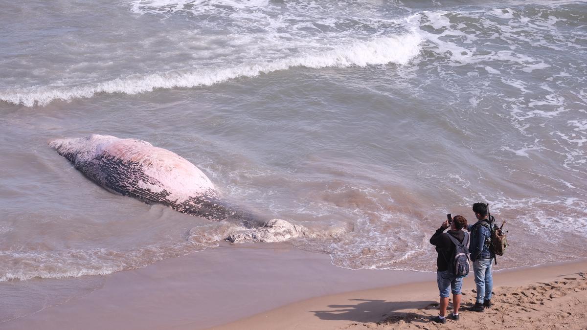 Aparece una ballena muerta en Guardamar