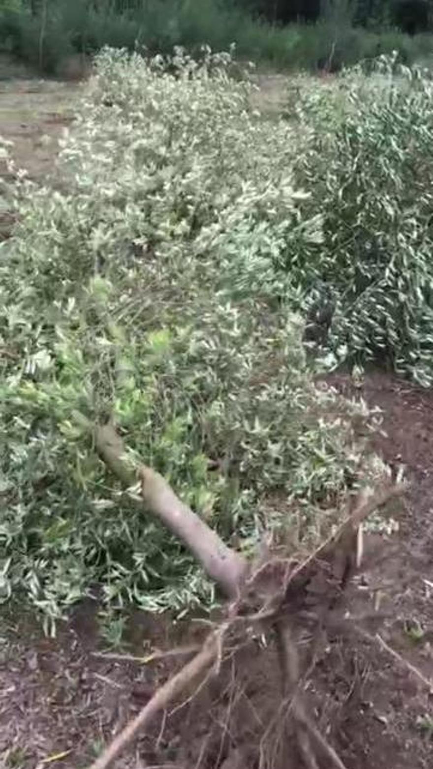 Todos los olivos plantados en estos 12.000 metros cuadrados fueron arrancados sin producción.