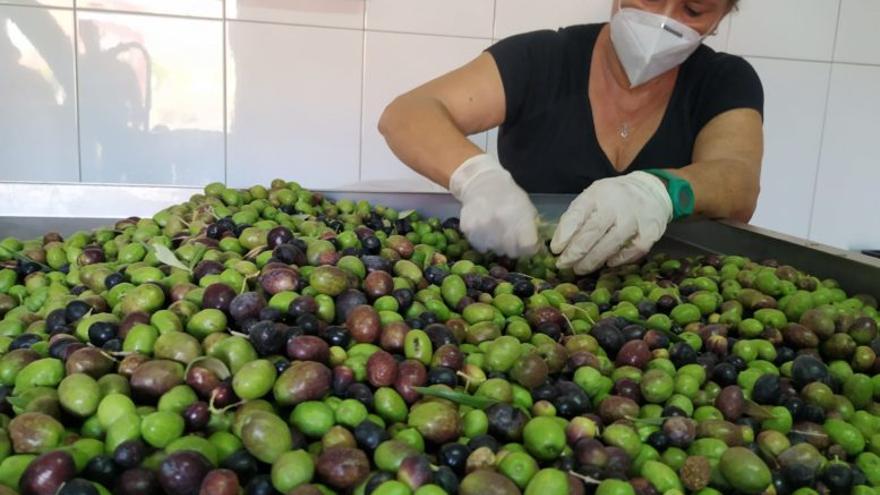 La almazara municipal de Agüimes comienza a producir el aceite de oliva virgen extra