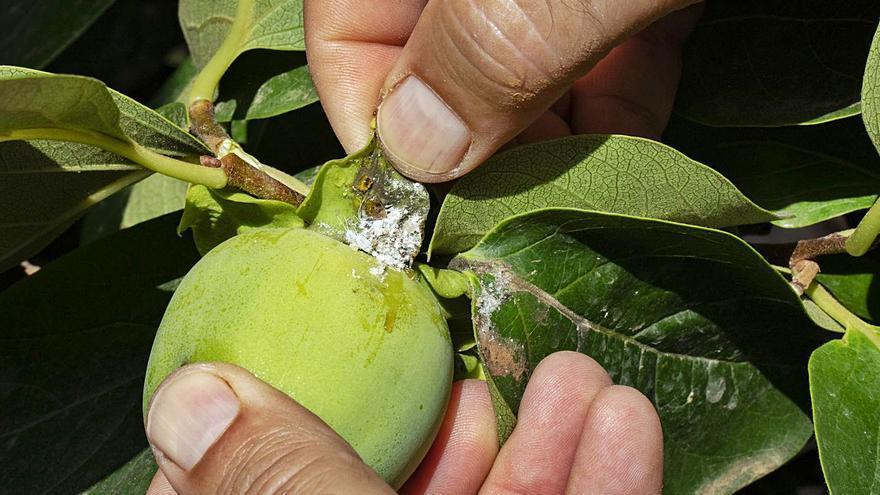 AVA alerta de que el «cotonet» ya provoca mermas del 50 % en muchos campos de caqui