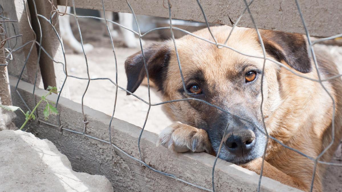 El abandono de perros considerados potencialmente peligrosos sigue al alza.