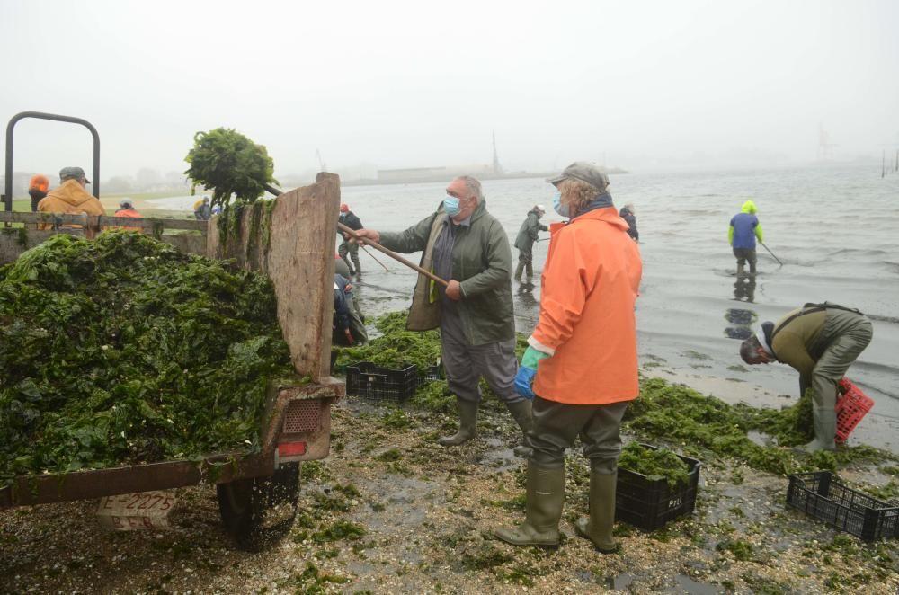 La agrupación de Carril limpia el manto verde de algas que arrastró el temporal Álex a la playa Compostela. / Noé Parga
