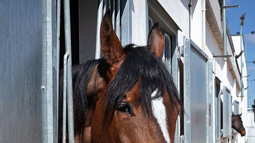 Más de cien caballos sin signos del virus regresan a sus países