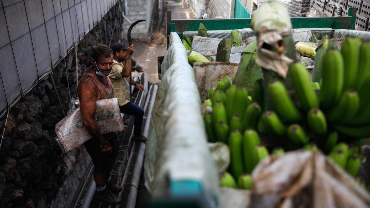 Trabajadores cubiertos de ceniza tras recoger plátano en la zona de la isla de La Palma afectada por la erupción del volcán