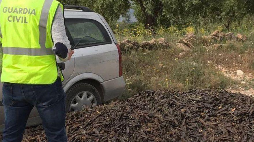 La algarroba de Castellón tendrá menos producción y ya detectan los primeros robos