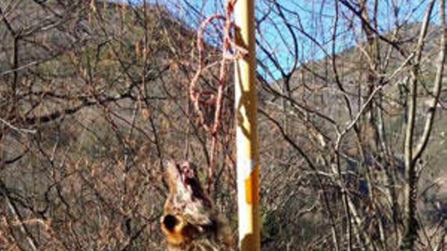 Hallan un lobo muerto colgado de una señal en Asturias