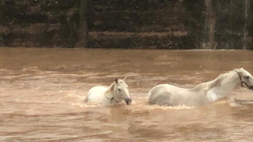La angustiosa imagen de dos caballos con el agua al cuello por las fuertes lluvias