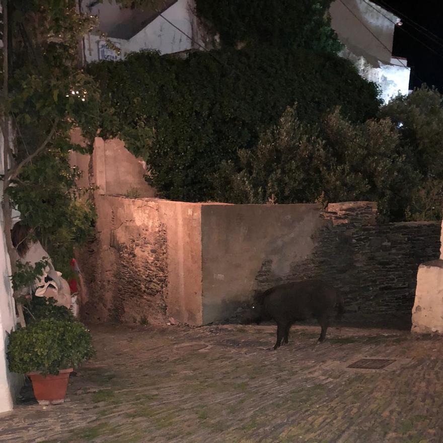 Senglars es passegen pel centre de Cadaqués