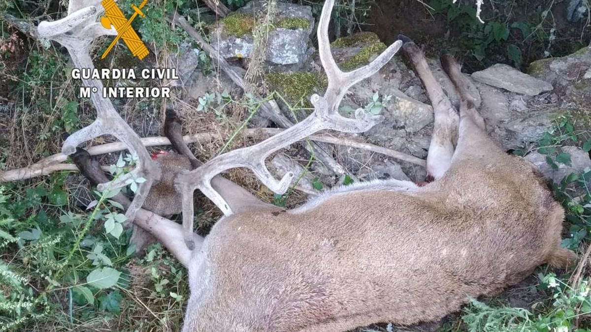 Ciervo cazado ilegalmente en Villardeciervos