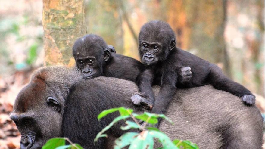 El 50% de los grandes simios perderá su hábitat en 2050 por el cambio climático
