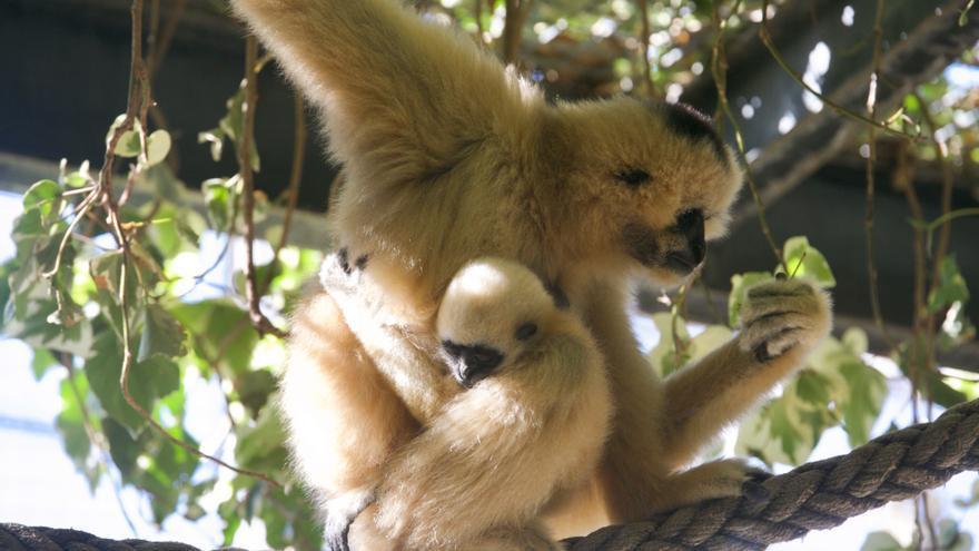 Nueva cría en el Zoo de Córdoba: los gibones de mejillas blancas aumentan la familia