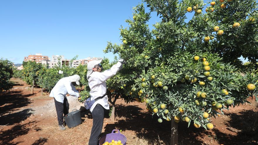 Efectos de cotonet: La producción citrícola se desploma en Castellón y esta campaña caerá un 28%