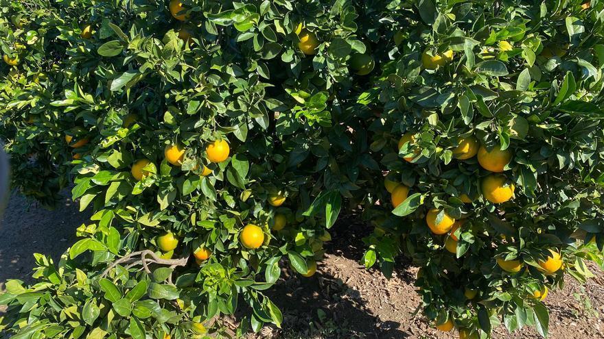 Naranjas a 15 céntinos el kilo a pie de árbol por la presión de los cítricos de Sudáfrica