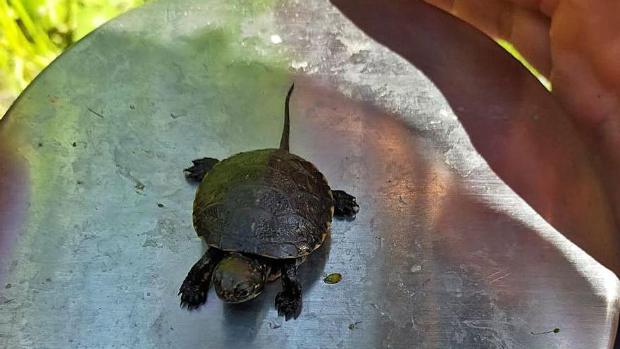 Neixen al Ter les primeres cries de tortuga d'estany en llibertat