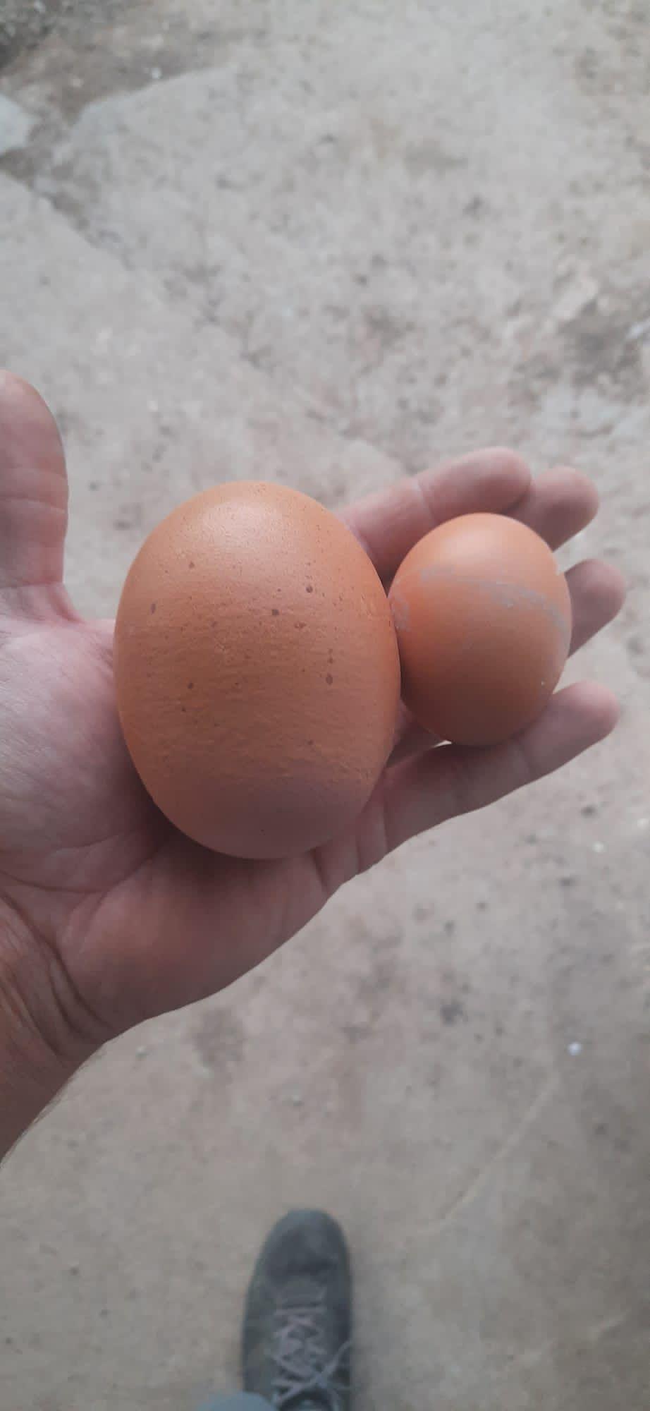 FOTOGALERÍA | El huevo de gallina más grande de España, en La Almunia de Doña Godina
