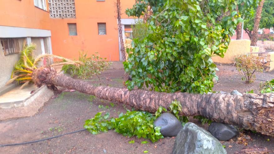 El fuerte viento tumba una palmera en el Polígono de Arinaga