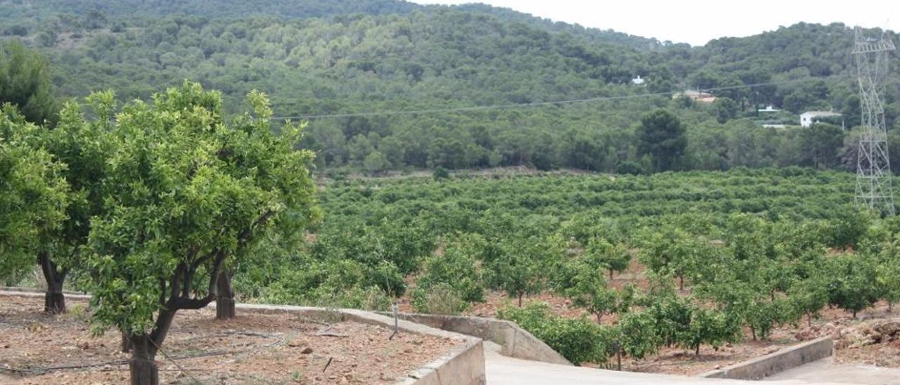 Emergencia agrícola en Morvedre por el cotonet