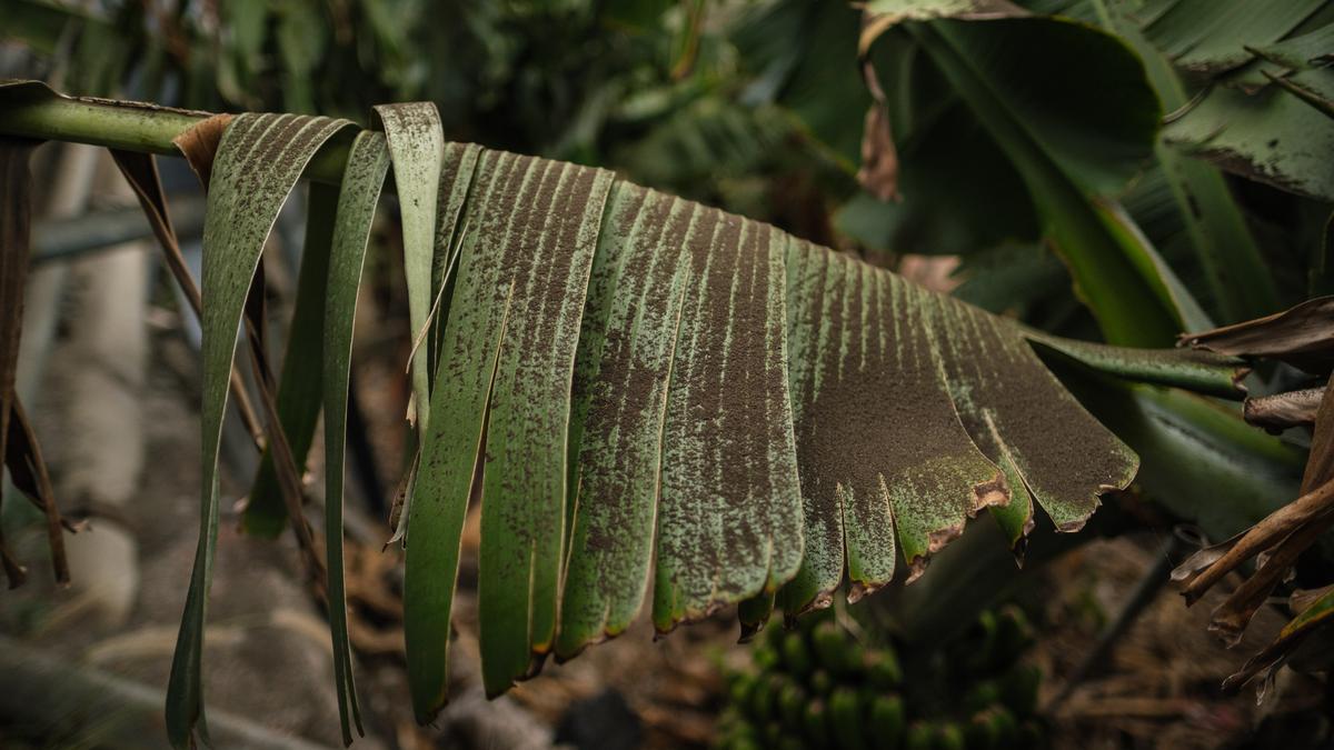 Los 'platanitos' son capaces de resistir al estrés hídrico y alimentarse de sus agonizantes 'madres' durante meses.