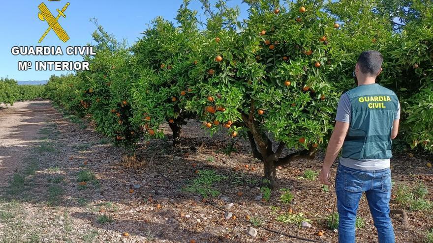 Detenidos por robar 35 toneladas de naranjas en Vinaròs, Sant Jordi y Traiguera
