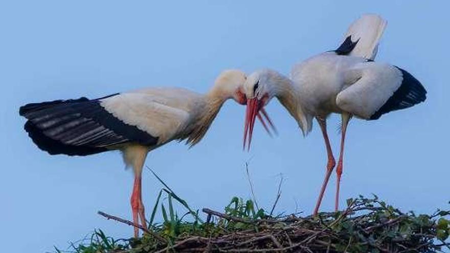 Las parejas de cigüeñas llegan a Meres y a Noreña por San Blas