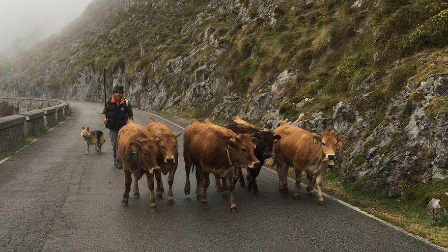 Cangas de Onís gestiona 199 licencias de pasto en la Montaña de Covadonga