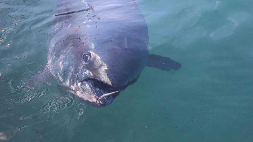 La tonyina Trini no ha tornat al port de l'Escala després de quatre anys de visites