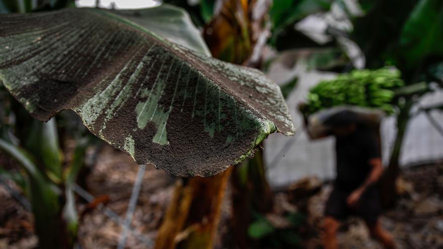 Agricultura pide a la Comisión Europea que se mantengan las ayudas del Posei en La Palma en 2022