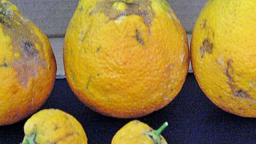 Sin noticias de los citricultores afectados por el 'cotonet'
