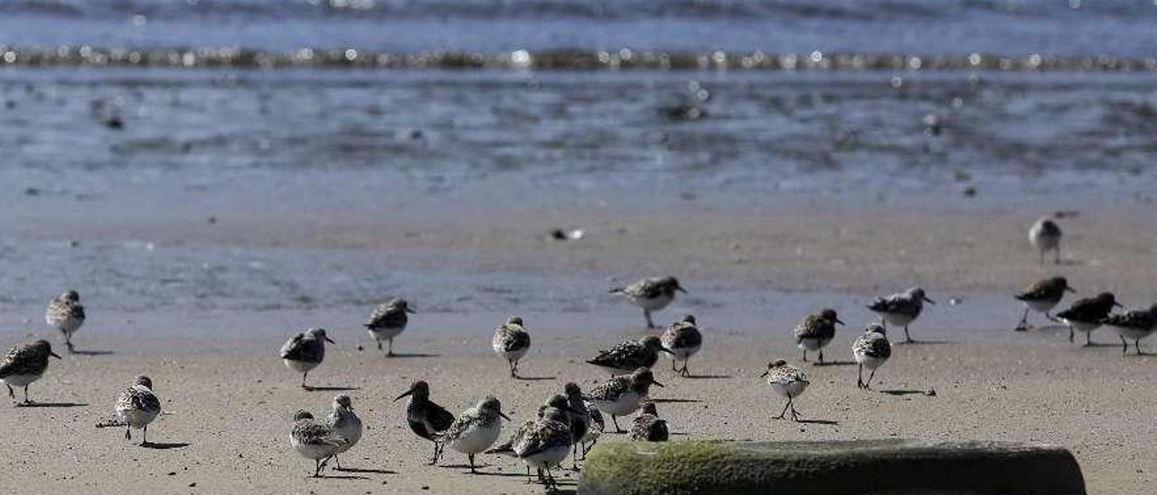 Un grupo de aves, alimentándose ayer por la tarde en la ensenada de Llodero.