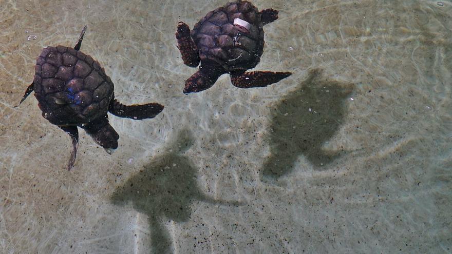 Tortugues nascudes a Eivissa es retroben a l'Ocenogràfic