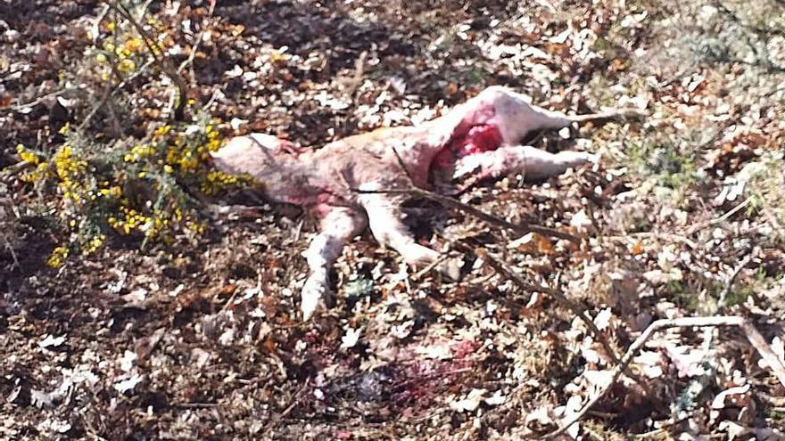 COAG pide que la Junta indemnice los ataques del lobo fuera de la Sierra de la Culebra