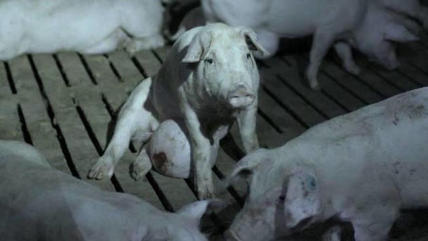 Tierquälerei-Skandal: Mallorcas Anwälte mischen sich ein