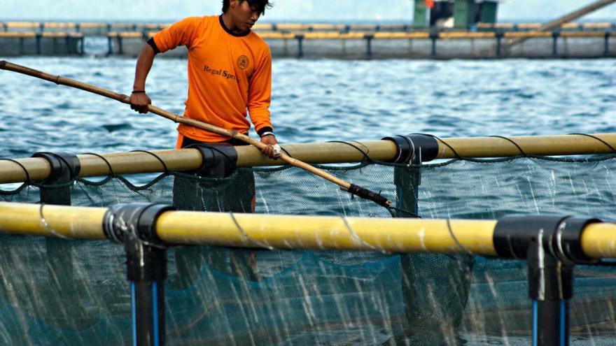 Pescanova recupera la tilapia