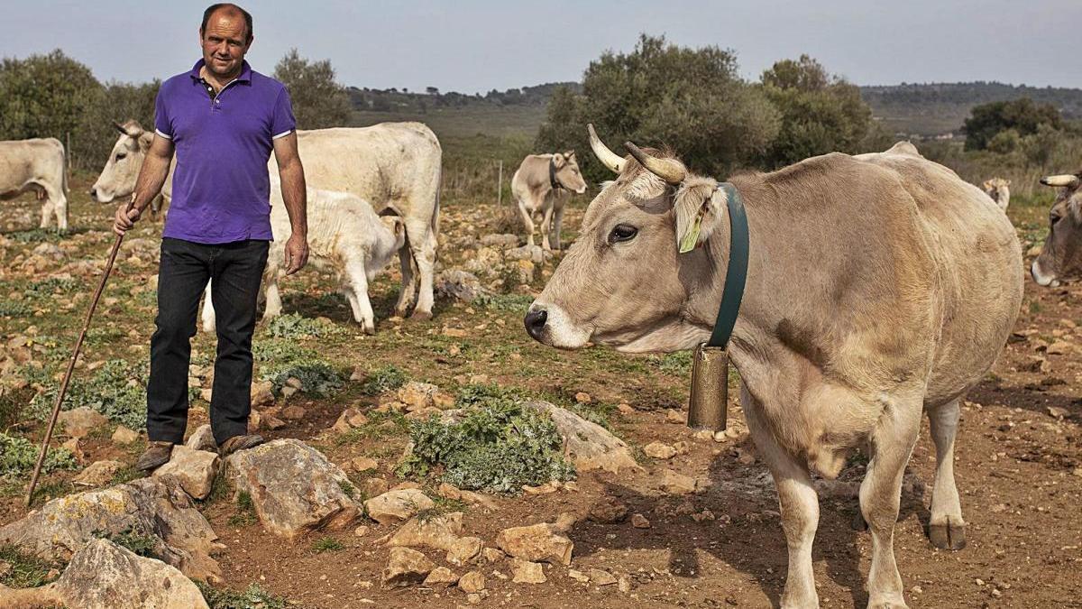Joan Fontdecaba amb algunes vaques que, a finals de maig, fan la transhumància d'Avinyonet a Llanars