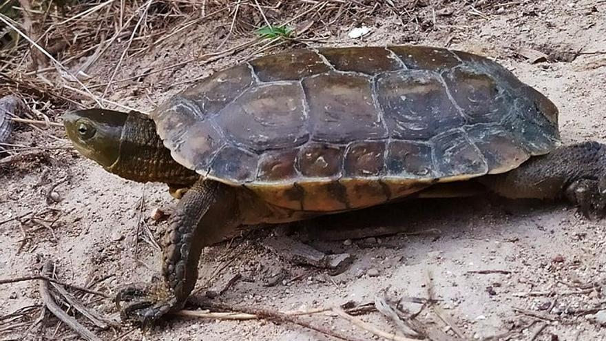 Ecologistas descubren la presencia de la tortuga de agua ibérica en Xàtiva