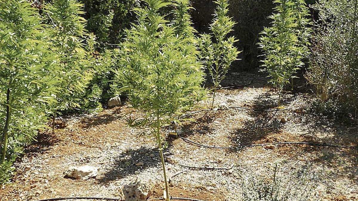 Marihuana en un huerto de Ciutadella