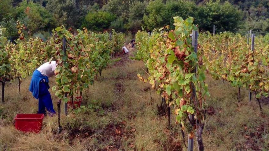 El Principado rechaza implantar en Ibias el ciclo formativo de vitivinicultura