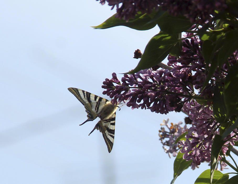 La flor i la papallona