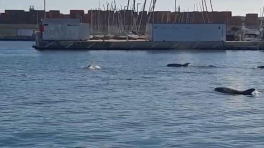 Avistamiento histórico  de delfines en la Marina